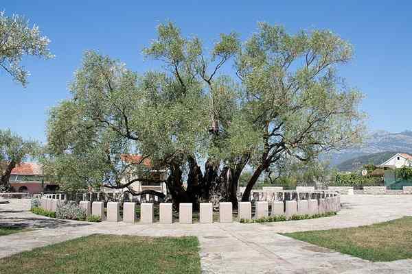 bar olive Tree